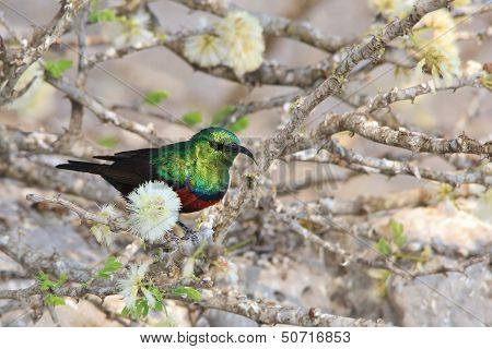 Marico Sunbird - Wild Bird Background from Africa - Spring Blossoms and Emerald Greens