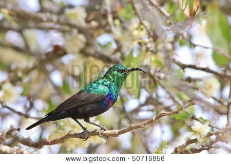 Marico Sunbird - Wild Bird Background from Africa - Green greens for all to see