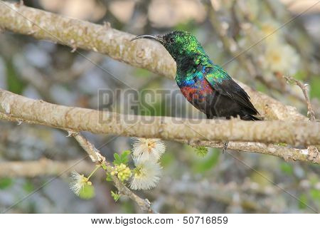Marico Sunbird - Wild Bird Background from Africa - Posing Plumage of super green and gloss
