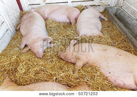 Pigs Pandemic