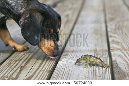 Dachshund Crayfish Encounter