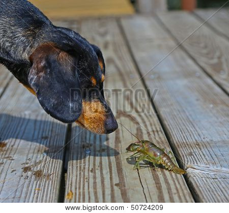 Dachshund examines crayfish
