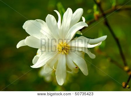 Star Magnolia Closeup