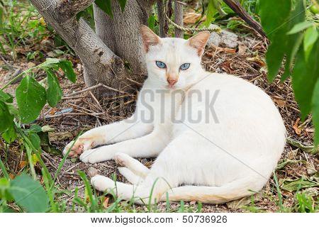 Thai White Cat