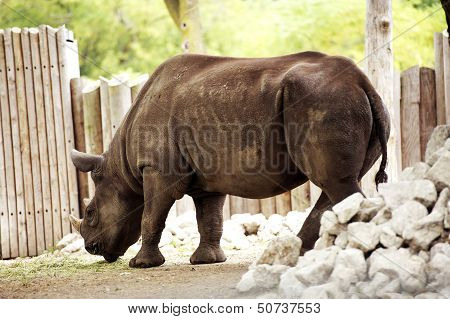 Rhinoceros - Rhino