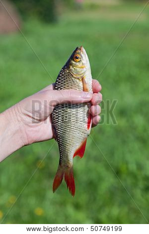 Freshly Caught Fish Rudd  In The Hand