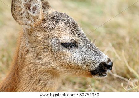 Closeup Portrait Of A Baby Roe Deer