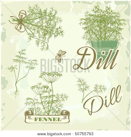 fennel, dill, herb, plant,