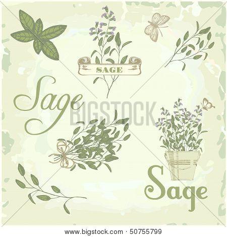 Sage, salvia, clary sage, herb, plant