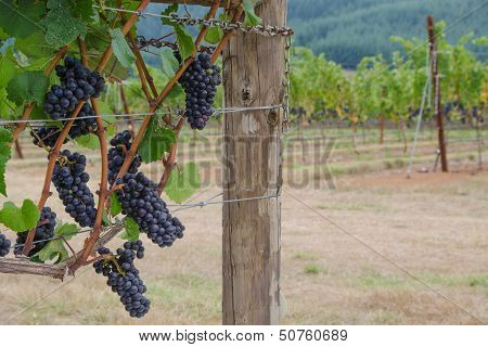 Pinot Noir Clusters With Vineyard Backgrouind