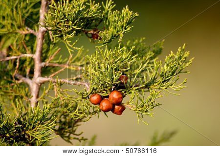 Wild cone-less pine nuts under a small twig on soft green or khaki background.