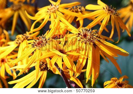 Ligularia dentata flowers