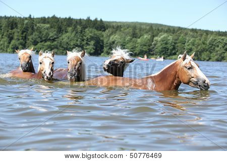 Batch Of Chestnut Horses Swimming In The Wather