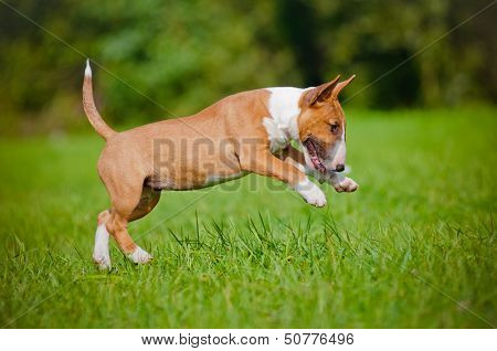 adorable english bull terrier puppy playing outdoors
