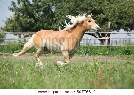 Beautiful Haflinger Running On Pasture