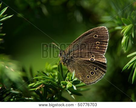 Butterfly grayling (Aphantopus hyperantus)