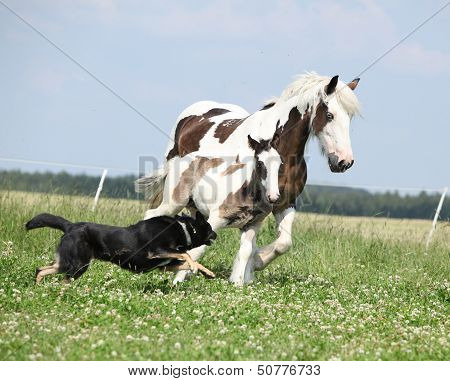 Irish Cob Mare Runaway From The Dog
