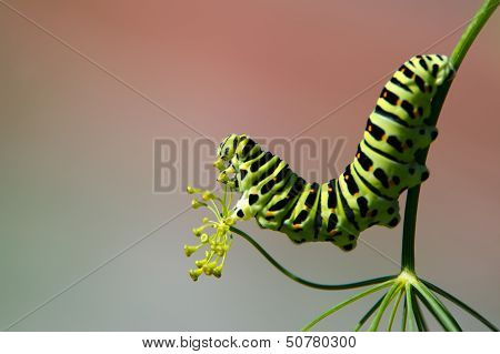 Profile Of A Caterpillar Of The Old World Swallowtail (papilio Machaon)