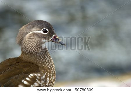 Mandarin Duck (Aix Galericulata), A Closeup Of The Female