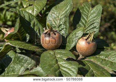 Fresh medlar fruit