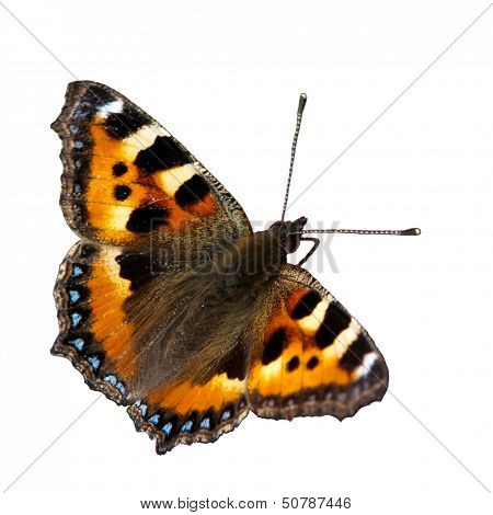 Small Tortoiseshell (Aglais Urticae), Isolated, Sweden