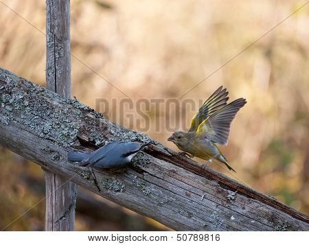 Nuthach Vs Greenfinch