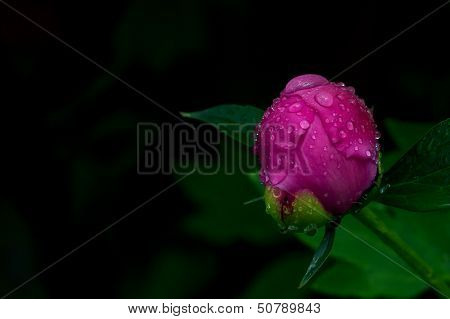 Peony (Paeonia Festiva) Bud In The Rain