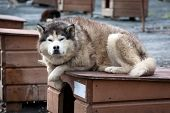 stock photo of sled dog  - close up portrait of noble sled dog a Chukchi husky breed laying on its doghouse - JPG
