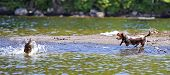 stock photo of moosehead  - Dachshund chasing ducks in the shallows of Moosehead Lake in Maine with shore  - JPG