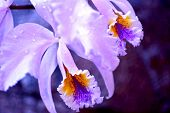 stock photo of ovary  - Blossom Orchid Closeup - JPG