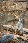 Suricate On The Rock