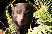 image of taz  - Vicious looking Tasmanian Devil Peering Through Sword Ferns - JPG