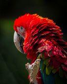 picture of montre  - Un joli perroquet ara rouge vous montre ses belles couleurs - JPG