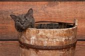 Gray Cat In Wooden Bucket