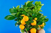 pic of green leaves  - Several Oranges to the foreground and green leaf - JPG