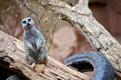 pic of meerkats  - The Meerkat or Suricate Suricata Suricatta is a Small Mammal Belonging to the Mongoose Family - JPG