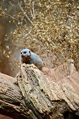 Meerkat On The Tree