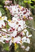 pic of cassia  - The pink cassia flower tree in thailand - JPG