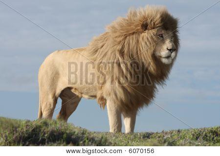 White Lion Male