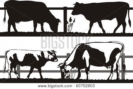 cow and bull on the pasture