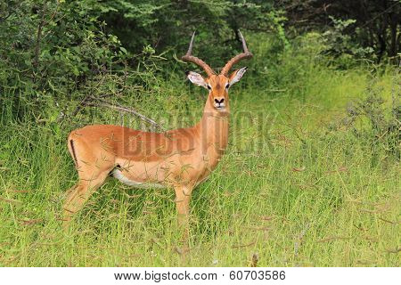 Wildlife Background - Impala Ram Beauty