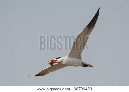 Caspian Tern In Flight With Fish
