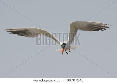 Caspian Tern In Flight