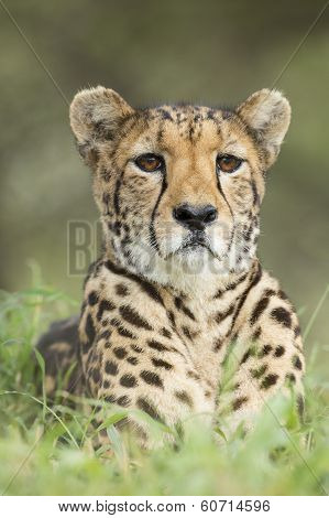 Female Cheetah (acinonyx Jubatus) South Africa