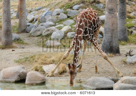 Giraff Drinking