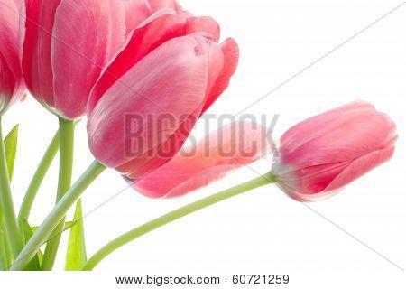 Pink Tulips Detail