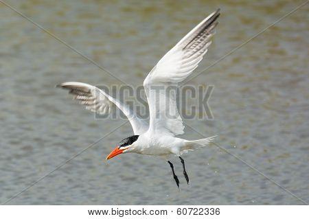Wet Caspian Tern Flying Over Water