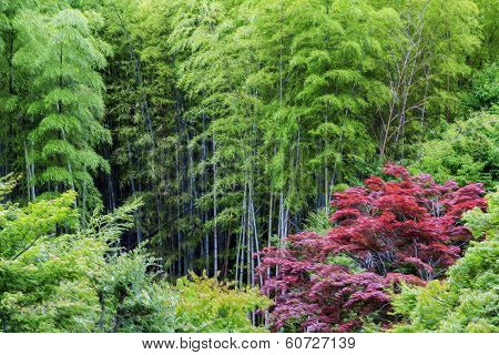 Oil Painting Stylized Green Bamboo And Red Acer