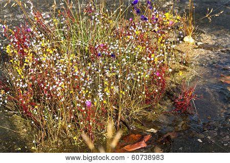 Hedyotis Sp.flower ( Rubiaceae)