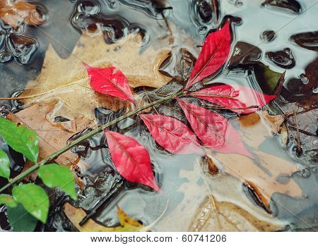 Walnut Leaf in Stream